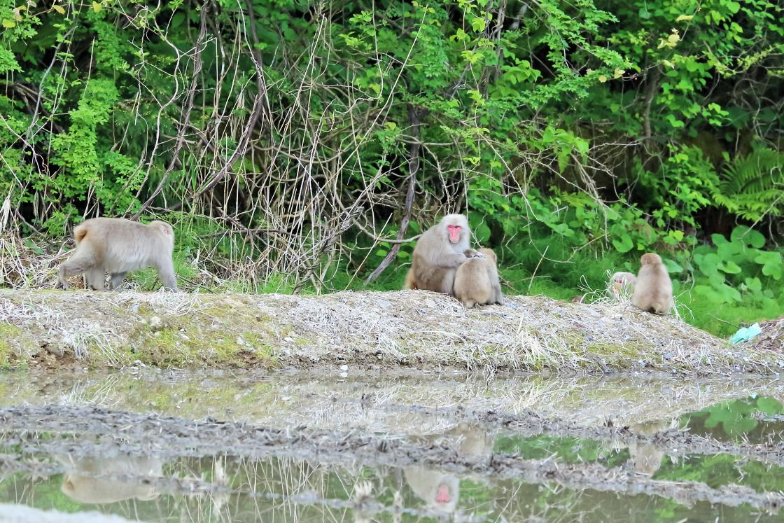 田んぼにいた猿