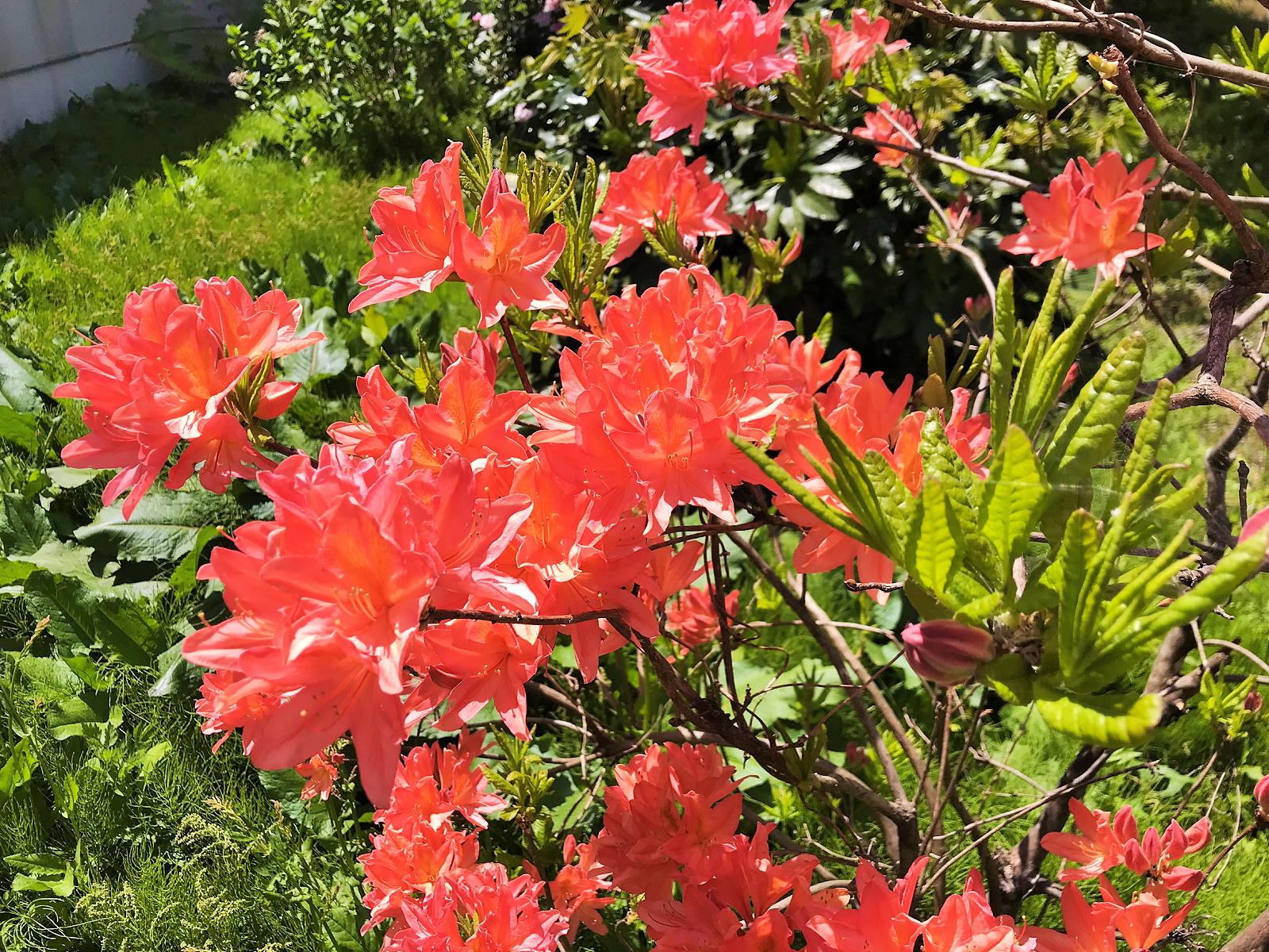 中庭に咲くツツジ