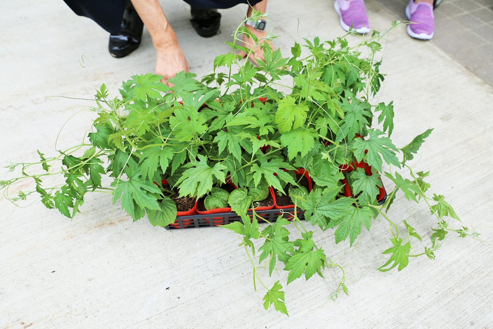 胎内市さんから「緑のカーテン普及事業」でゴーヤの苗をいただきました。 今日は養護盲利用者の皆さんとゴーヤ苗を植えました(^-^)>